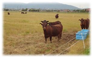 牛放牧の様子